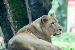 Um close up obscuro disparado de um leão ou de uma leoa fêmea ao descansar fotos de stock