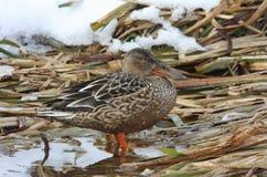 Um clypeata dos Anas do pato-colhereiro da fêmea que está em juncos com neve no fundo Imagens de Stock