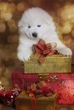 Um cão de cachorrinho velho do Samoyed do mês com presentes do Natal Fotografia de Stock Royalty Free