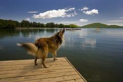 Um cão do Collie em uma doca do lago Imagem de Stock Royalty Free