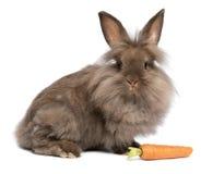 Um coelho bonito do lionhead do chocolate com uma cenoura Imagem de Stock