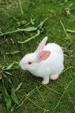 Um coelho branco no gramado Foto de Stock