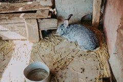 Um coelho cinzento no feno na exploração agrícola Coelho bonito em uma grama seca fotos de stock