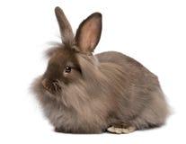 Um coelho de coelho de encontro bonito do lionhead do chocolate Fotografia de Stock Royalty Free