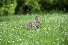 Um coelho entre as margaridas Imagens de Stock Royalty Free