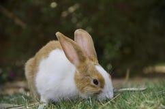 Um coelho que anda na grama Imagens de Stock Royalty Free