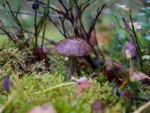 Um cogumelo 3 Fotografia de Stock Royalty Free