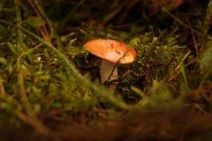 Um cogumelo com uma cabeça vermelha cresce no musgo Fotografia de Stock Royalty Free