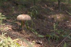 Um cogumelo de parasol solitário com um cacho e umas especs. macios bonitos Foto de Stock