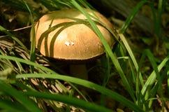 Um cogumelo está em uma grama Fotos de Stock Royalty Free