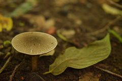 Um cogumelo Gilled da espécie do agaricus Fotos de Stock Royalty Free