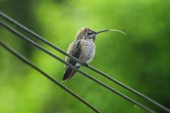 Um colibri cola para fora sua língua foto de stock royalty free