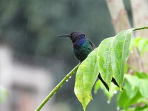 Um colibri no ramo foto de stock