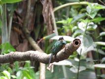 Um colibri no ramo - Mata Atlantica- Paraty imagem de stock
