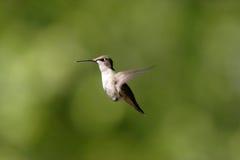 Um colibri paira no ar. fotografia de stock