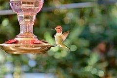 Um colibri que alimenta do alimentador imagem de stock royalty free