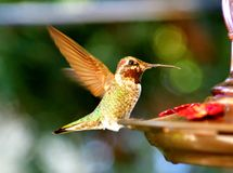 Um colibri que alimenta do alimentador imagem de stock