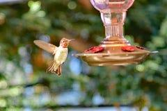 Um colibri que aproxima o alimentador fotografia de stock royalty free