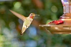 Um colibri que aproxima o alimentador imagens de stock royalty free