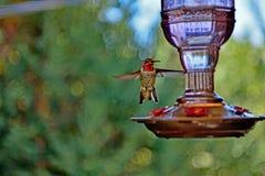 Um colibri que inspeciona o alimentador imagens de stock