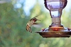 Um colibri que inspeciona o alimentador foto de stock royalty free