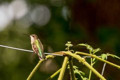 Um colibri rubi-throated na gaiola do tomate no quintal fotografia de stock royalty free