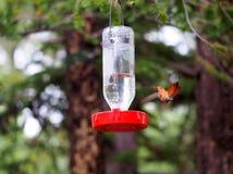 Um colibri Rufous de Fiesty pisca suas penas de cauda Mantenha afastado! imagens de stock royalty free