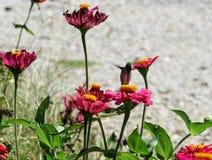Um colibri fotografia de stock royalty free