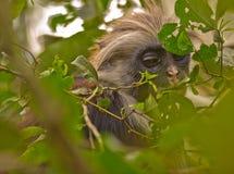 Um Colobus vermelho novo de Zanzibar na floresta Fotografia de Stock Royalty Free