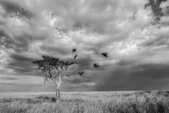 Um comitê dos abutres em uma árvore solitária da acácia imagem de stock