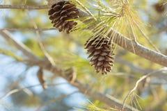 Um cone do pinho em um ramo de árvore fotografia de stock royalty free