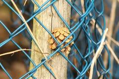 Um cone do pinho prendido em uma cerca Cerca azul brilhante fotografia de stock royalty free