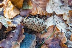 Um cone só do pinho Imagem de Stock