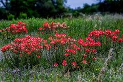 Um conjunto alaranjado brilhante de Wildflowers de Painbrush do indiano em um prado da borda da estrada em Oklahoma. imagem de stock royalty free