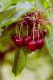 Um conjunto de cerejas Fotos de Stock