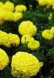 Um conjunto de flores amarelas brilhantes em um arbusto verde Fotos de Stock Royalty Free