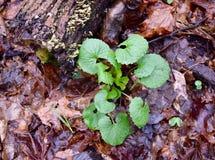 Um conjunto de mostarda de alho planta emergir em uma floresta da mola imagens de stock royalty free