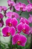 Um conjunto de orquídeas cor-de-rosa fotografia de stock