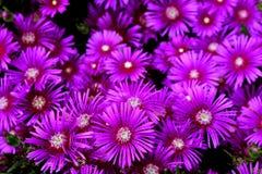 Um conjunto de rosa de florescência fornece um PNF da cor Fotografia de Stock Royalty Free