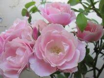 Um conjunto de rosas cor-de-rosa imagens de stock