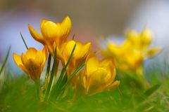 Um conjunto de sol de florescência dos açafrões do amarelo alaranjado na primavera em um parque Fotos de Stock Royalty Free