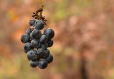 Um conjunto de uvas selvagens fotos de stock royalty free