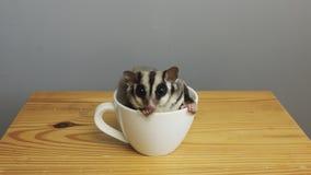 Um copo do sugarglider Imagens de Stock