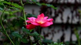 Um cor-de-rosa aumentou filme