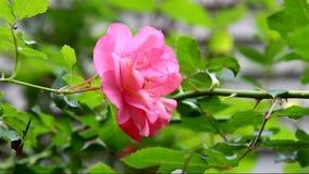 Um cor-de-rosa aumentou vídeos de arquivo