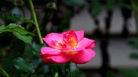Um cor-de-rosa aumentou video estoque