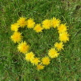 Um coração do dente-de-leão no prado verde Fotos de Stock Royalty Free