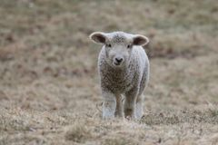 Um cordeiro branco em um pasto Foto de Stock