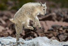 Um cordeiro da cabra de montanha do bebê que faz correria na neve fotografia de stock