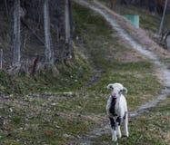 Um cordeiro perdido que procura por seus pais fotos de stock